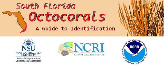 Interactive Identification Guide to South Florida Octocorals