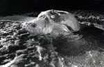 An adult loggerhead turtle returns to the ocean after laying its eggs on the beach in Hollywood, Florida, 1980