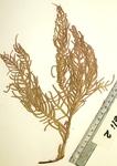 <em>Antillogorgia elisabethae </em>(Bayer, 1961)