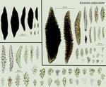 <em>Eunicea calyculata </em>(Ellis and Solander, 1786) by Howard Lasker