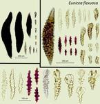 <em>Eunicea flexuosa </em>(Lamouroux, 1821)