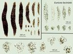 <em>Eunicea laciniata </em>(Duchassaing and Michelotti, 1860)