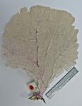 <em>Gorgonia flabellum </em>(Linnaeus, 1758)