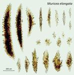 <em>Muricea elongata </em>(Lamouroux, 1821)