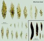 <em>Muricea laxa </em>(Verrill, 1864)