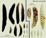 <em>Muricea muricata </em>(Pallas, 1766) by Howard Lasker