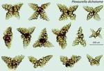 <em>Plexaurella dichotoma </em>(Esper, 1791) by Howard Lasker