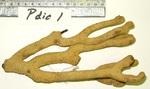 <em>Plexaurella dichotoma </em>(Esper, 1791)