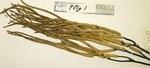 <em>Pseudoplexaura flagellosa </em>(Houttuyn, 1972) by Charles Messing